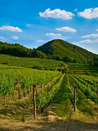 vine country: grape, grapevine plants in a beautiful vineyard