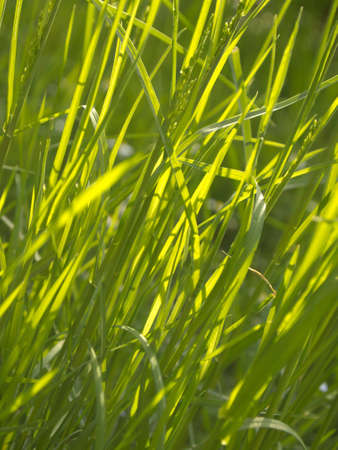Texture with green wire grass Stock Photo - 12538536