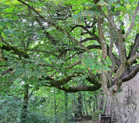 chestnut tree: Big chestnut tree in the woods in Castelrotto, Italy Stock Photo