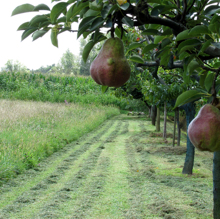 cultivated land: Red pears on tree branches in a cultivated land in Tuscany, Italy Stock Photo