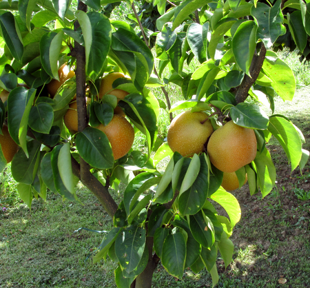 cultivated land: Apple pear on tree branches in a cultivated land in Tuscany, Italy
