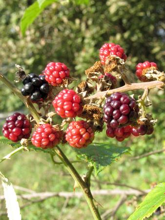 ripened: Blackberries bunch not yet fully ripened