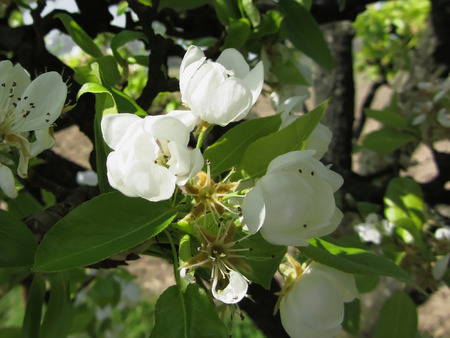 pear tree: Pear tree branches with blossoms