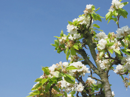 Pear tree branches with blossoms