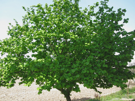 Hazel tree with green leaves in spring in Tuscany Italy