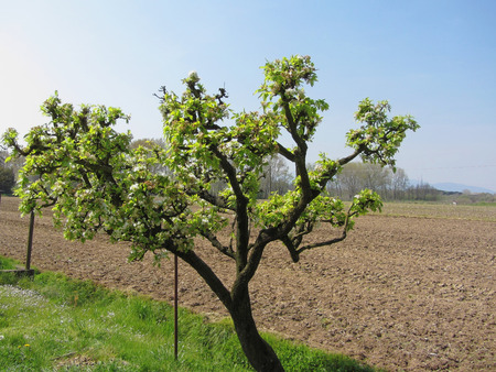 Pear tree with blossoms in a sunny day