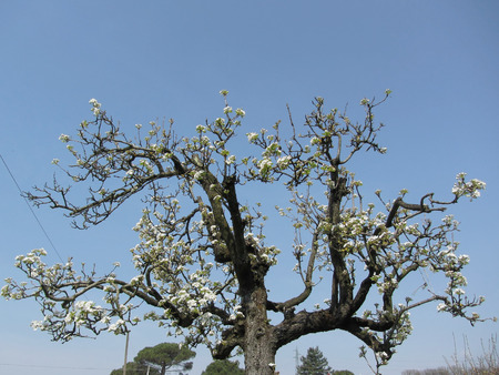 Pear tree with blossoms against the blue sky Imagens