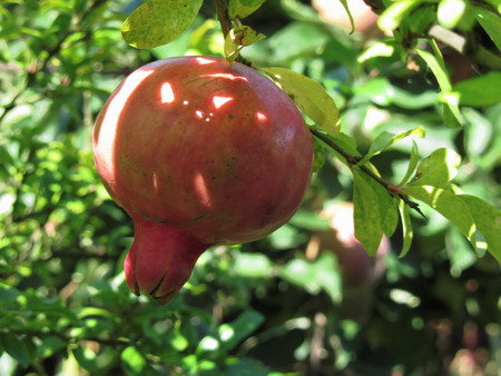 Single pomegranate hanging on tree photo