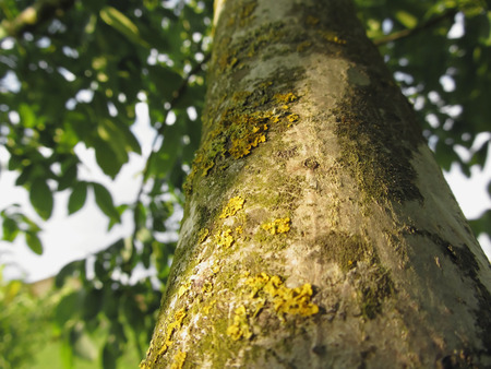 walnut tree: Walnut tree trunk with yellow moss fungus and lichens in the garden in Tuscany, Italy
