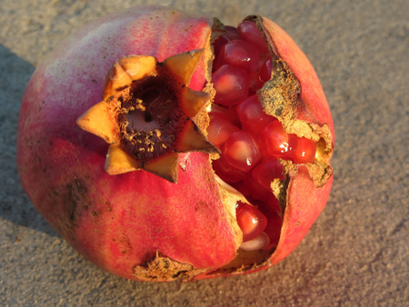 flavorful: Pomegranate fruit with visible grains . Shooted at golden hour
