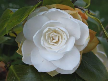 White flower of Camellia in spring 免版税图像