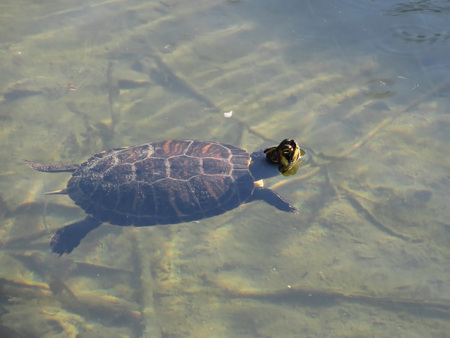 water turtle: Floating turtle swimming in a pond