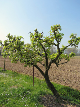 pear tree: Pear tree with blossoms in a sunny day