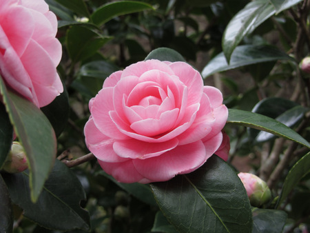 ancient japanese: Ancient japanese cultivar of pink Camellia japonica flower known as Otome Tsubaki