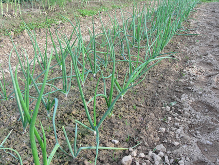 flavorful: Onion plants in rows in the garden in Tuscany, Italy