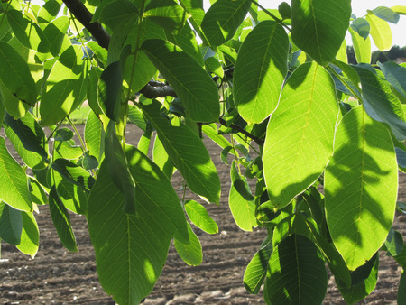 walnut tree: Walnut tree branches with green leaves on plowed field background