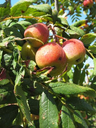 sorb: Sorbs in fruit tree . Tuscany, Italy