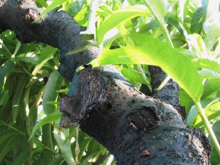 peach tree: Closeup of peach tree excretion of gummy resin