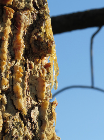 rosin: Pine tree resin on the trunk. The drops of resin flow down on the bark