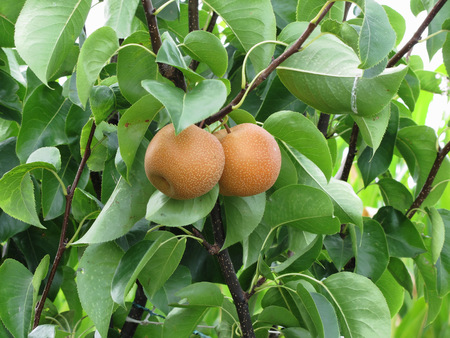 rosaceae: Nashi pears known also as apple pears hanging on the tree . Pyrus pyrifolia is a species of pear tree of the Rosaceae family native of East Asia