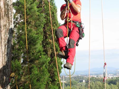 rappelling: Tree surgeon lumberjack hanging from a big tree