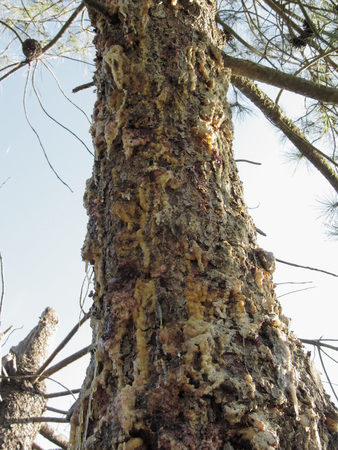 outflow: Pine tree resin on the trunk. The drops of resin flow down on the bark