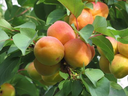 熟した杏の木に掛かっています。イタリア トスカーナ