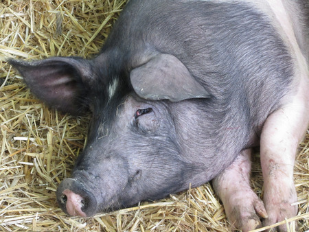 autochthonous: The Cinta senese , very ancient tuscan breed of domestic pig , lying down on straw