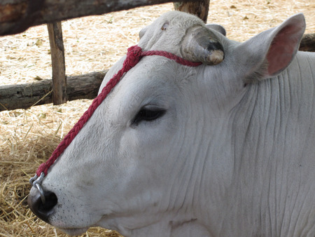 Portrait of the Chianina, one of the oldest italian breed of cattle