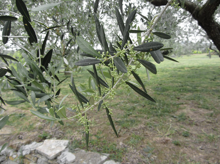 Olive tree branches with first buds . Tuscany, Italy Фото со стока