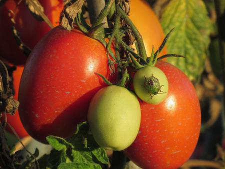 Southern green stink bug , Nezara Viridula - Linnaeus on tomato plant in the garden . Tuscany, Italy
