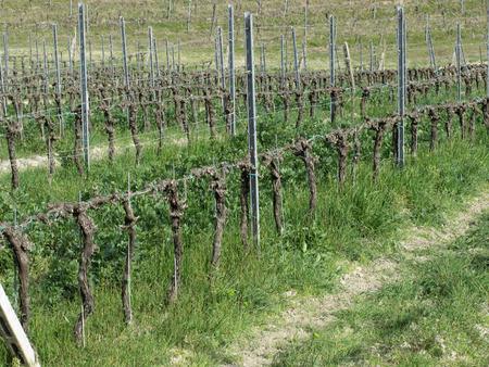 Bare vineyard field in winter . Tuscany, Italy