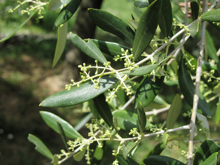 Flowering and fruit set in olive ( Oleaceae family ). Tuscany, Italy
