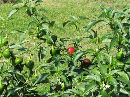 Red eggplant of Rotonda from Basilicata , Italy (Solanum aethiopicum) . Italian red aubergine Stock Photo