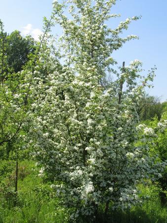 Blossoming Sambucus Nigra ( Adoxaceae family) . Elder or Elderberry or Black elder or European elder flowering plant