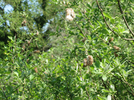 Salix tree ( Salix Cinerea ) with tiny seeds embedded in white cottony down which assists wind dispersal . Tuscany, Italy