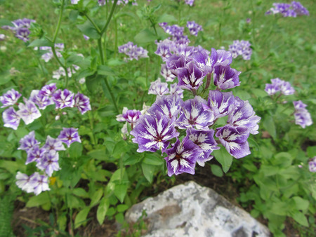 Phlox drummondii Sugar Stars . Types of flowers that bloom with a confection of purple-blue and white clustered blooms each with star-shaped white central markings Stock Photo