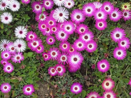 Livingston Daisy flowers ( Cleretum bellidiforme, Mesembryanthemum criniflorum, Dorotheanthus bellidiformis ) in the garden from above in summer