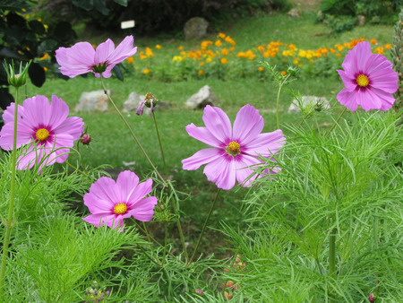 Cosmos bipinnatus flowers commonly called the garden cosmos or Mexican aster in the garden