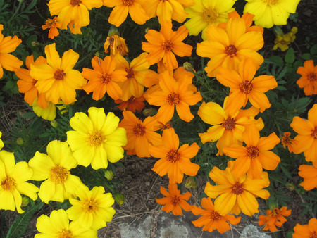 Natural background of colorful flowers in summer . Orange and yellow flowers view from above