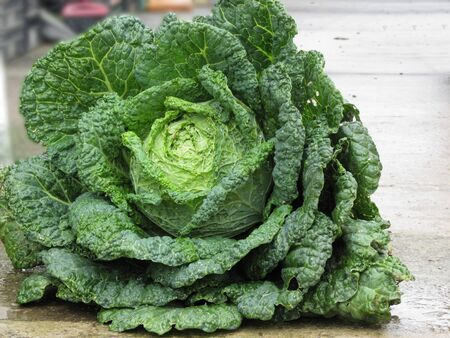Close up of organic Savoy cabbage just hand picked from the garden Standard-Bild - 137187742