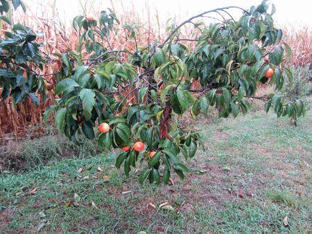 Persimmon kaki tree with sweet fruits against a cornfield . Tuscany, Italy