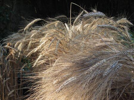 Sheaf of dry wheat on dark background