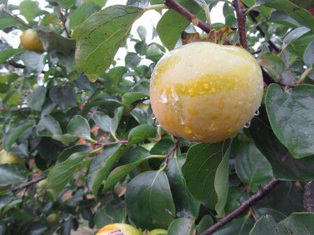 Persimmon kaki tree with unripe fruits dripping of morning rain . Tuscany, Italy Standard-Bild
