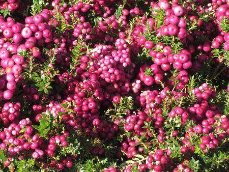 Gaultheria or Pernettya mucronata known as prickly heath