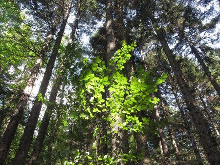 Firs forest landscape in summer . Abetone, Tuscany, Italy Standard-Bild - 144388295