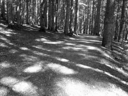 Hiking path through forest of beech trees in summer. Abetone, Tuscany, Italy . Black and white photo Standard-Bild - 145222971
