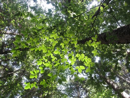 Leaves of European beech ( Fagus ) in summer . View from below . Abetone, Tuscany, Italy