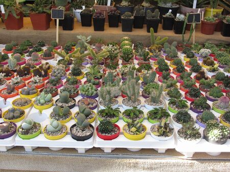 Variety of small cactus in pod on the table Standard-Bild - 146042273