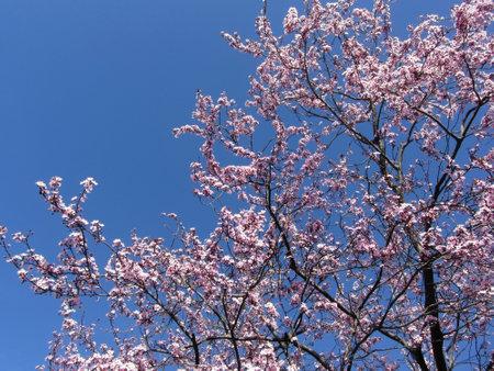 Flowering plum tree against the blue sky in spring
